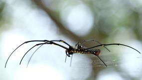 Golden web spider. Giant golden orb weaver Stock Photography