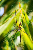 Golden Web Spiders (Nephila pilipes) Royalty Free Stock Images