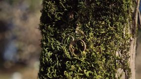 Golden wedding rings is on the moss-covered tree trunk. The golden wedding rings is on the moss-covered tree trunk stock video footage
