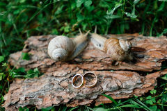 Golden wedding rings next to a pair of snails. Golden wedding rings lie on a piece of bark next to a pair of snails Stock Photo