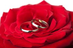 Golden wedding rings over red rose isolated royalty free stock image