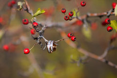 Golden wedding rings with red berry. Golden wedding rings on the branch with berries Royalty Free Stock Images