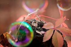 Golden wedding rings shabby background. Golden wedding rings on red grape's leaf Stock Photo