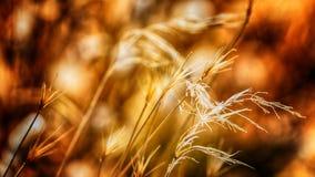 Golden weeds. Macro shot of some golden late summer weeds Stock Photo