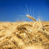 Golden wheat Stock Photos