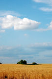 Golden Wheat. Field in rual Oklahoma Stock Photography