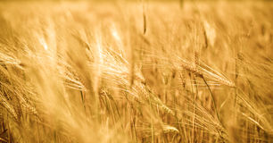 Golden wheat. Close up of golden wheat crops Royalty Free Stock Photography