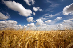 Golden Wheat Royalty Free Stock Photos