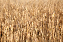 Golden wheat Stock Photography