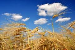Golden wheat Stock Image