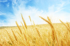 Golden wheat Stock Photos