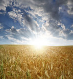 Golden wheat. In the sunset sky background Royalty Free Stock Image