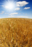 Golden wheat. In the blue sky background Stock Image