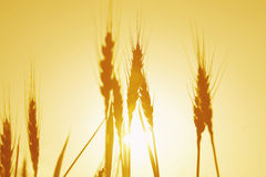 Golden wheat. Macro view of silhouetted white with golden sunset background Royalty Free Stock Photos