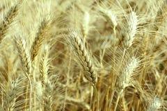 Golden wheat. Organic food concept Stock Photo