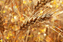 Golden wheat. Spikes shining in the sunlight royalty free stock photos
