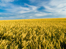 Golden Wheat. In  Kansas field Royalty Free Stock Photo