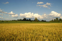 Golden Wheat Royalty Free Stock Image