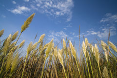 Golden wheat. Waving in the wind during a summer afternoon Royalty Free Stock Image