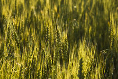 Golden wheat. Glowing golden wheat field abstract Stock Image