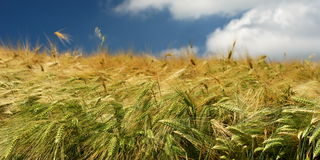 Golden wheat. Golden colored wheat in a field royalty free stock photos