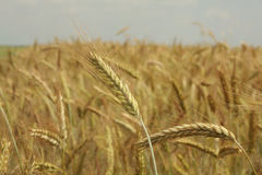 Golden Wheat. Closeup shot of a wheat by warm summer day Royalty Free Stock Photography