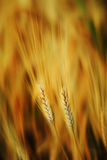 Golden wheat. An abstract view of a wheat grain tuft in golden colors royalty free stock photos