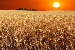 Golden wheat. Low golden sun over a wheat field Stock Photo