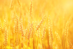 Golden Wheat. Golden field of wheat glows in the late afternoon sunlight Stock Photos