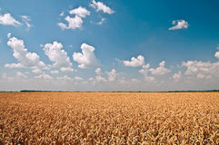 Golden wheat against blue sky and white clouds Stock Image