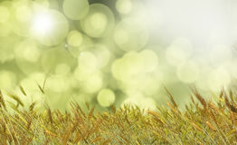 Golden wheat against a defocussed background. 3D render of Golden wheat against a defocussed background Stock Images