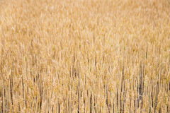 Golden wheat backgrond. Landscape with wheat field. Wheat growing on field. Field of wheat in summer. Rural scene with wheat field. A field of ripe wheat road Royalty Free Stock Photo