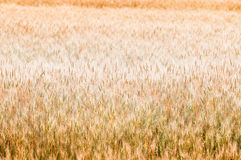 Golden wheat background Stock Photos
