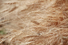 Golden Wheat background Stock Photography