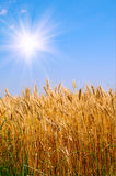 Golden wheat and beautiful blue sky. Stock Photos
