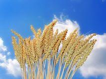 Golden wheat and blue sky Royalty Free Stock Photography