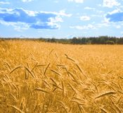 Golden wheat in the blue sky 2 square. Golden wheat in the blue sky background Stock Photo