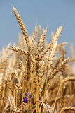 Golden wheat and blue sky Royalty Free Stock Photos