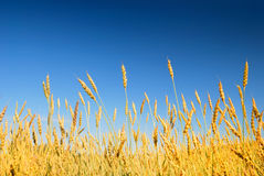 Golden wheat in the blue sky. Background Royalty Free Stock Photo