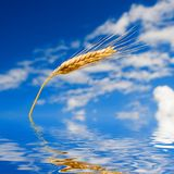 Golden wheat in the blue sky Stock Photography