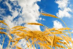 Golden wheat in the blue sky Royalty Free Stock Photos