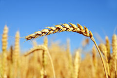 Golden wheat in the blue sky Stock Image