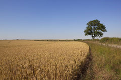 Golden wheat and blue sky. A lone ash tree stands by a golden wheat field under a clear blue sky Stock Photo