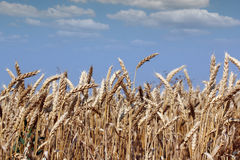 Golden wheat and blue sky Stock Image