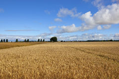 Golden wheat and canola crops Royalty Free Stock Photo