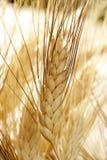 Golden wheat cereal, still life Stock Photo