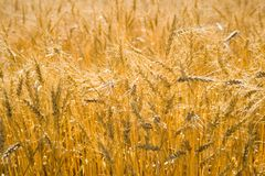 Golden wheat cereals Royalty Free Stock Images