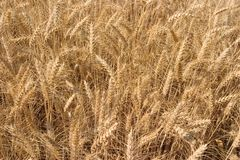 Golden Wheat-Close up. A close up shot of golden ripe wheat Royalty Free Stock Photography