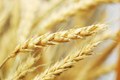Golden wheat close-up Royalty Free Stock Photography