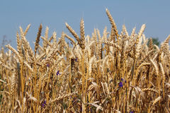 Golden wheat close up Royalty Free Stock Image